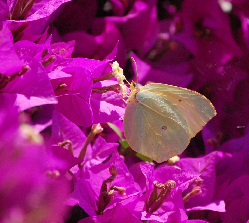 Brimstone on Prinilas bougainvillea